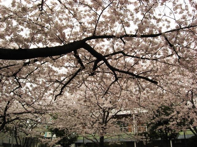 桜ふぶき1.jpg