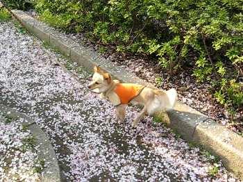 桜ふぶき.jpg