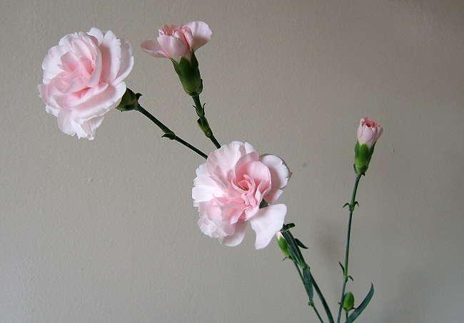 Carnation0514.jpg