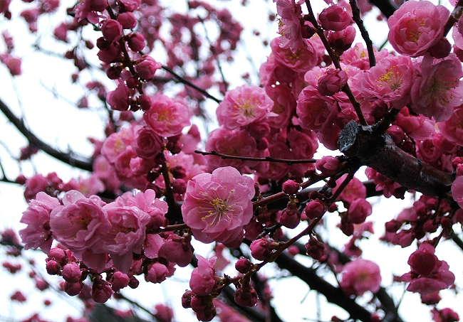 Sakura0510-2.jpg