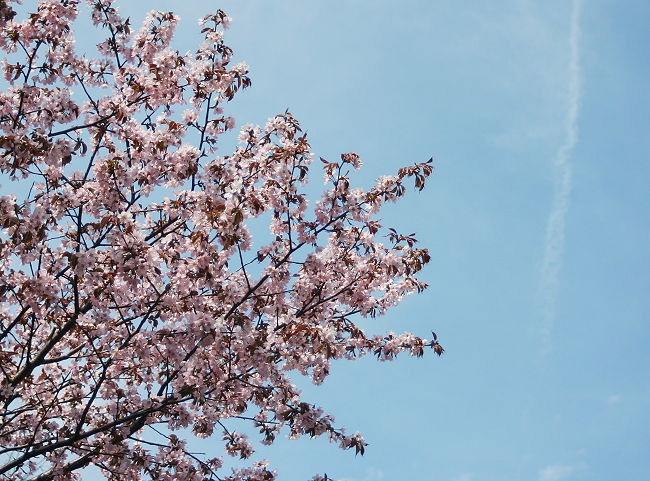 Sakura0512-4.jpg