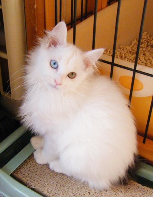 昨年2月にノエルちゃんが生まれて以降我が家はオッドアイの子猫が高確率で生まれるようになり4月生まれの子猫で2匹、8月生まれの子猫で3匹。