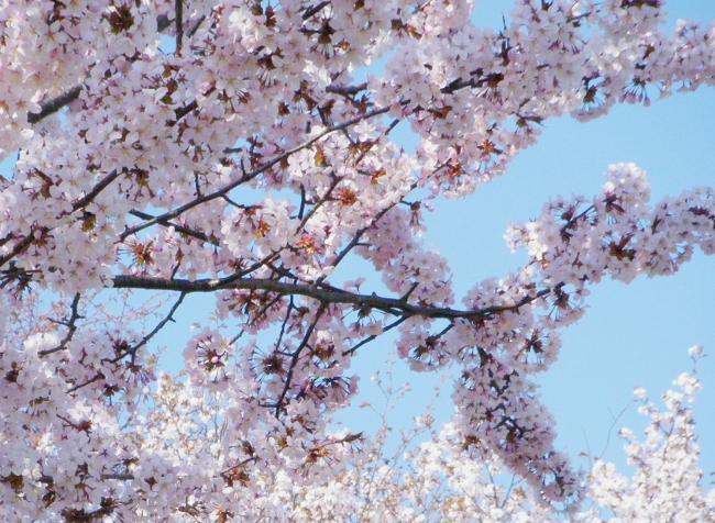 Sakura0506-3.jpg