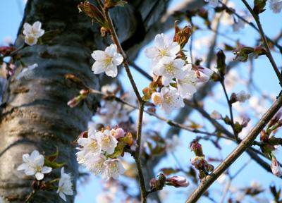 Sakura0515.jpg