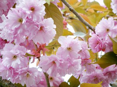 Sakura0605.jpg