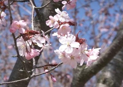 Sakura0513-1.jpg