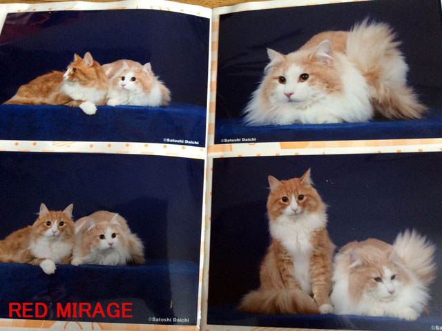 RED\u2020MIRAGEノルウェージャンフォレストキャットの成猫の