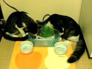 初めての猫草�.jpg