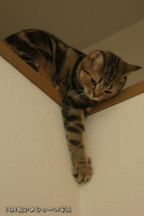 「1日1枚アメショーの写真」ではアメリカンショートヘア・シルバータビー「タム」とブラウンタビー「クー」、ペルシャ猫「モグ」の猫画像を公開