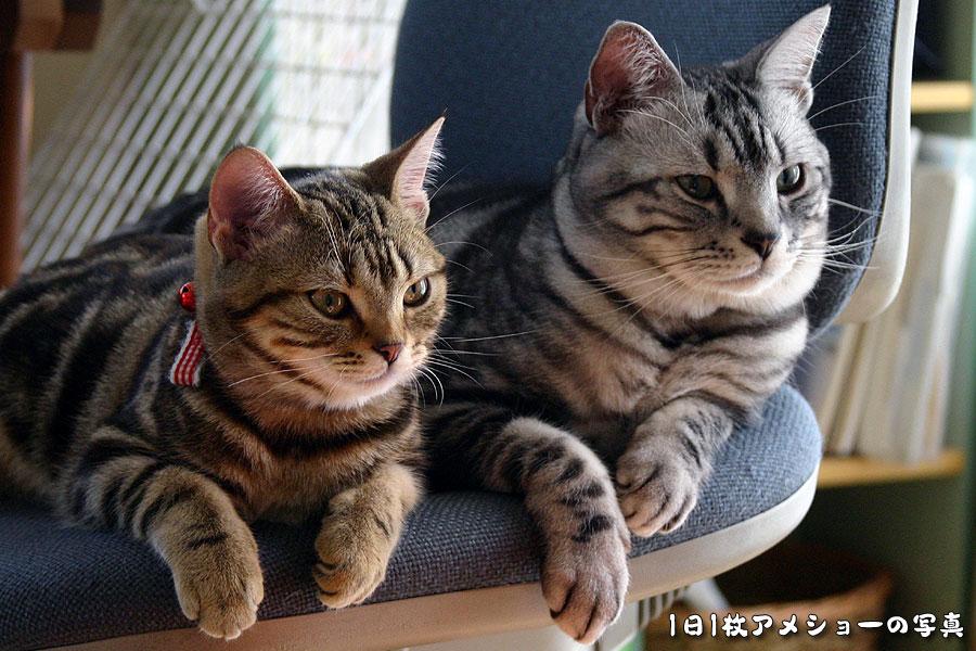 「1日1枚アメショーの写真」ではアメリカンショートヘア・シルバータビー「タム」とブラウンタビー「クー」、ペルシャ猫・レッドタビー「モグ」の猫画像を公開