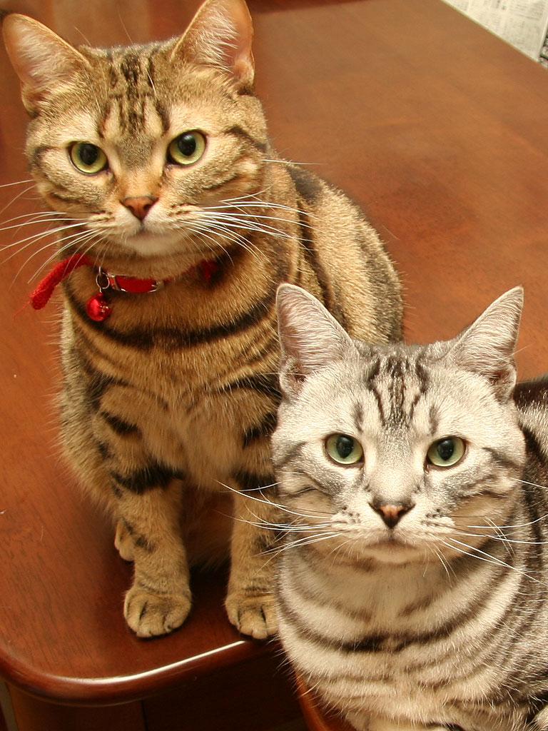 「1日1枚アメショーの写真」ではアメリカンショートヘア・シルバータビー「タム」とブラウンタビー「クー」 の猫画像を公開